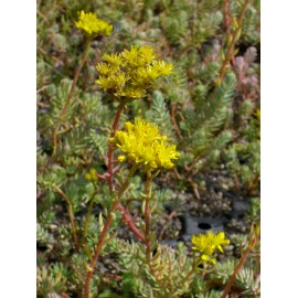 Sedum reflexum, 50 Pflanzen im 5/6 cm Topf
