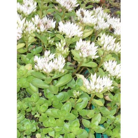 Sedum spurium Album Superbum, 50 Pflanzen im 5/6 cm Topf