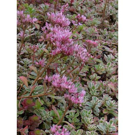 Sedum spurium Tricolor, 50 Pflanzen im 5/6 cm Topf