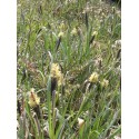 Carex flacca - Blaugrüne Segge, 6 Pflanzen im 5/6 cm Topf