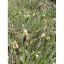 Carex flacca - Blaugrüne Segge, 50 Pflanzen im 5/6 cm Topf