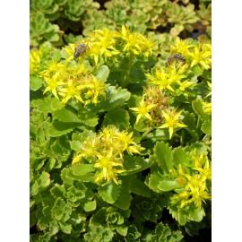 Sedum hybridum Immergrünchen, 6 Pflanzen im 5/6 cm Topf