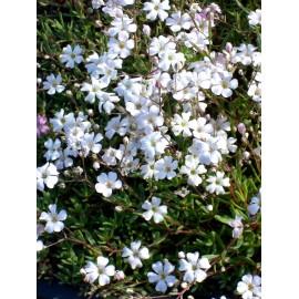 Gypsophila repens weiß - Zwergschleierkraut, 6 Pflanzen im 5/6 cm Topf