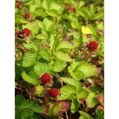 Duchesnea indica - Trug-Erdbeere, 6 Pflanzen im 5/6 cm Topf