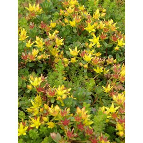 Sedum floriferum Weihenstephaner Gold, 6 Pflanzen im 5/6 cm Topf
