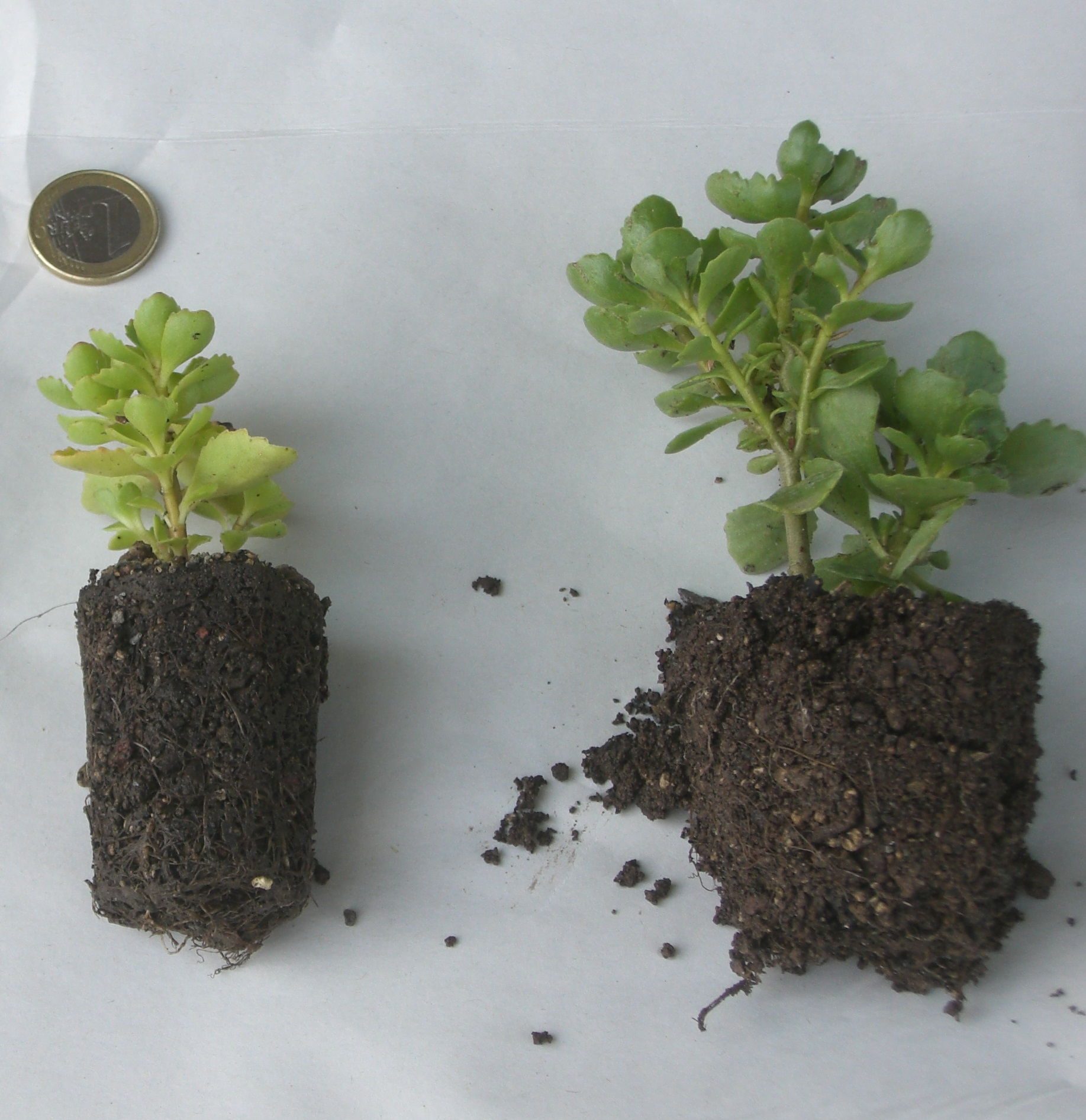 Links sieht man eine Gärtnerballenpflanze aus den 100er Angeboten, rechts eine Flachballenpflanze aus den 50er, 6er und 24er Angeboten