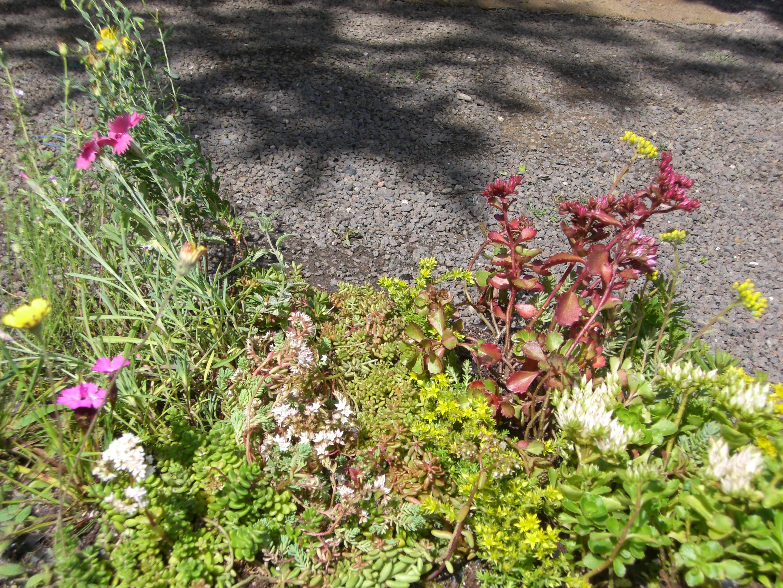 Sedum Pflanzenpaket Halbschatten I für 4 m² Dachbegrünung Steingarten etc.